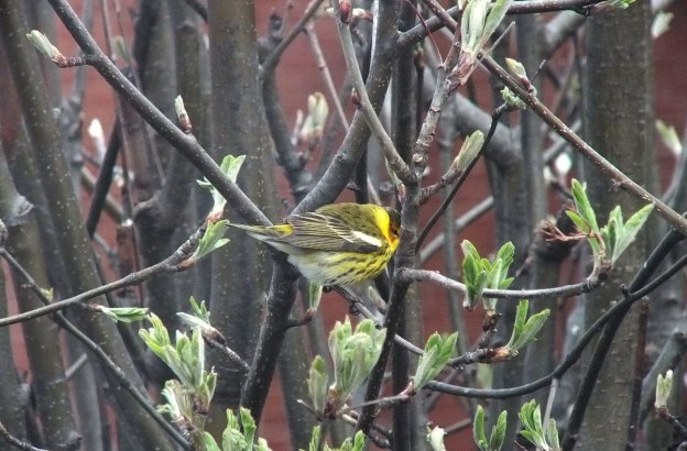 Cape May Warbler in bush - toronto 5