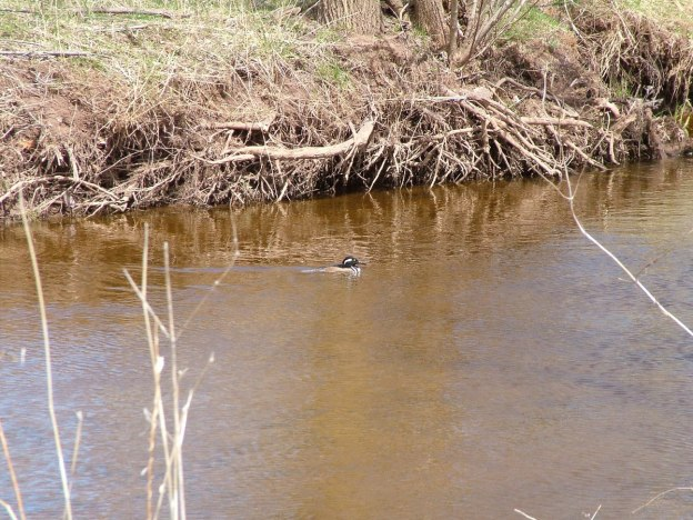 Hooded Merganser on grindstone creek - hamilton - ontario