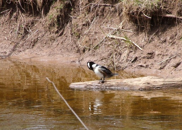 Hooded Merganser on log on grindstone creek - hamilton - ontario 2