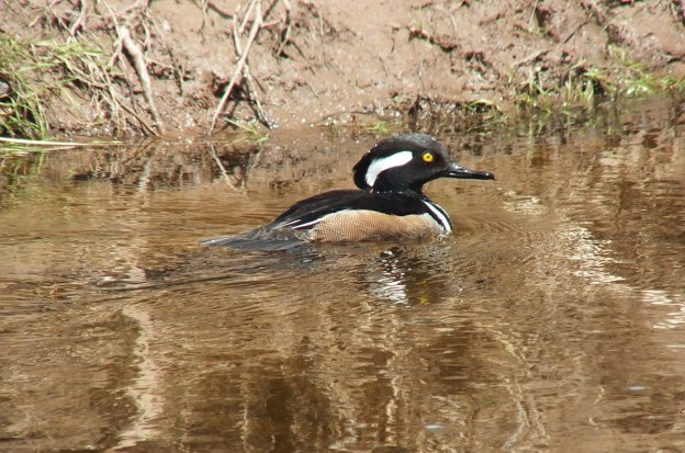 Hooded Merganser swims up grindstone creek - hamilton - ontario 2