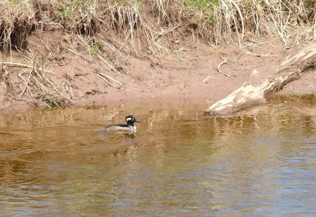 Hooded Merganser swims up grindstone creek - hamilton - ontario