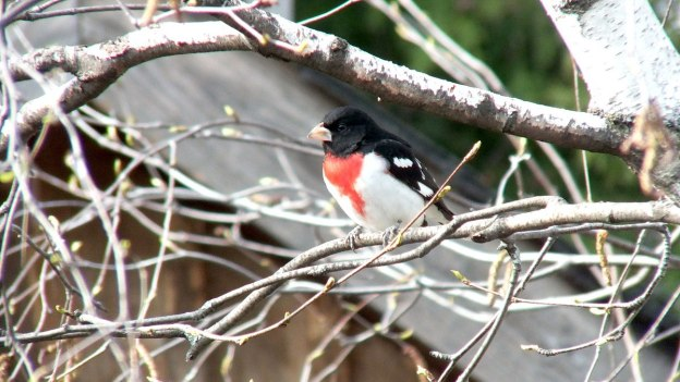 Rose-breasted Gosbeak- male - sitting on a tree - toronto