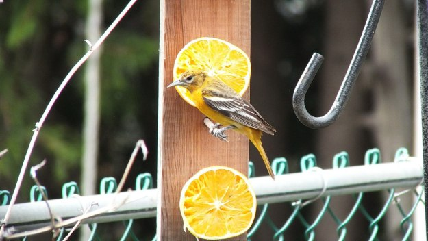 baltimore oriole female in toronto backyard 1