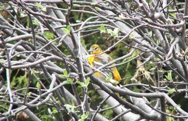 baltimore oriole female preens feathers - toronto
