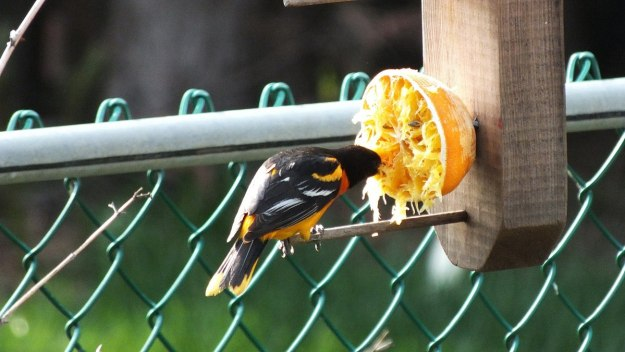 baltimore oriole male - eats orange - toronto