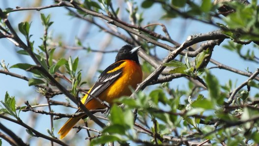 baltimore oriole male sits in tree - toronto