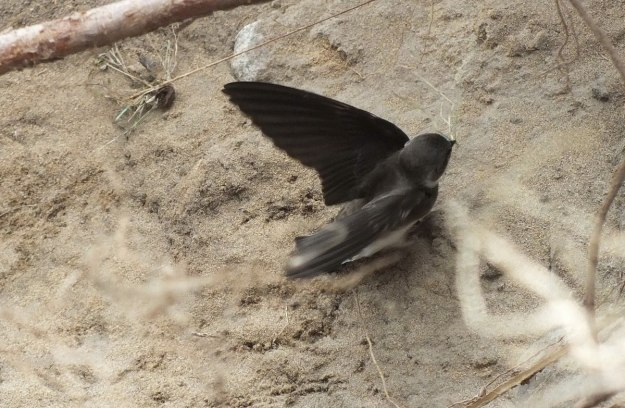 bank swallow at rosetta mcclain gardens - toronto
