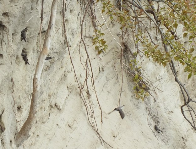 bank swallow nests in scarborough bluffs - rosetta mcclain gardens - toronto 2