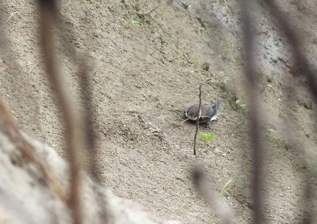 bank swallow picks up grass - rosetta mcclain gardens - toronto