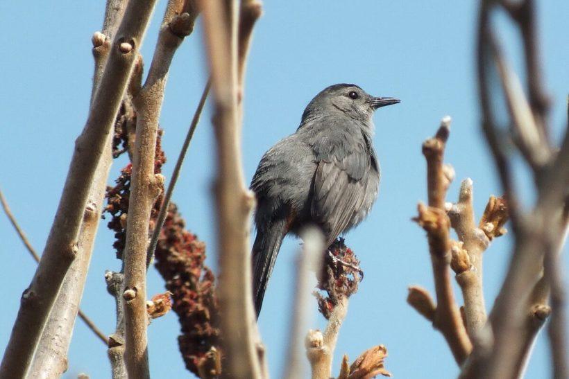 catbird at ashbridges bay park - toronto 2
