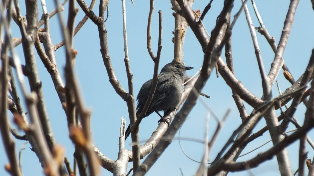 catbird at ashbridges bay park - toronto