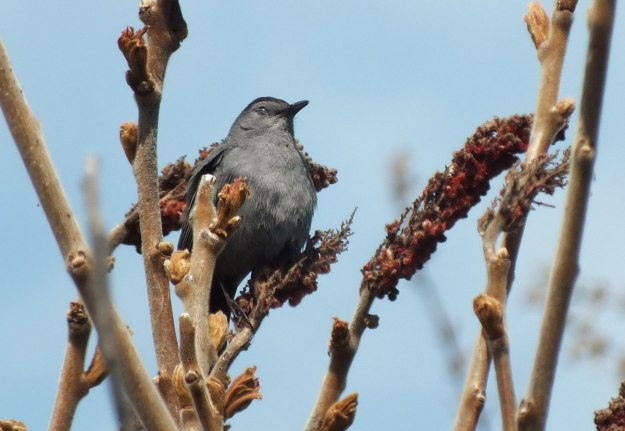catbird closes eyes at ashbridges bay park - toronto 5