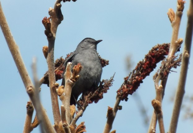 catbird with eyes closed at ashbridges bay park - toronto 5