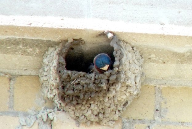 cliff swallow builds it nest - harris water treatment plant - toronto