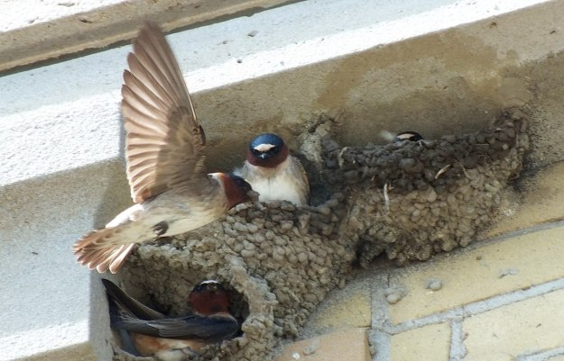 cliff swallow inflight to nest - harris water treatment building - toronto