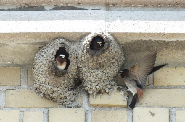 cliff swallows at harris water treatment plant - toronto