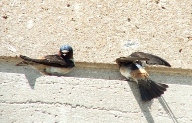 cliff swallows on ledge - harris water treatment building