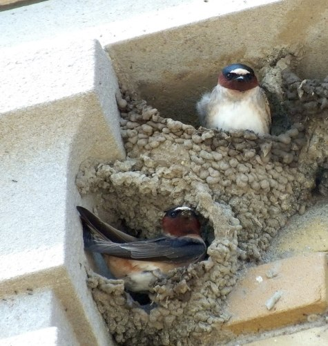 cliff swallows sitting in two nests - harris water treatment plant - toronto