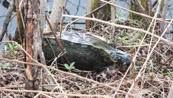 dead turtle at milliken park_toronto_ontario