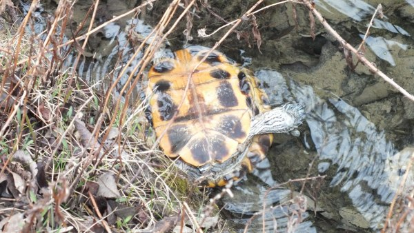 dead turtle in pond at milliken park_toronto_ontario