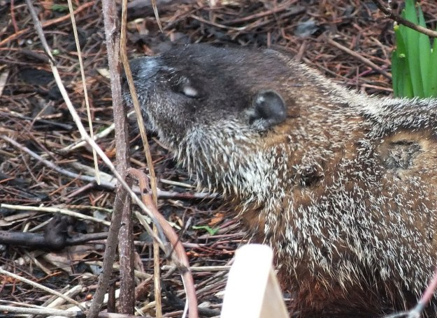 groundhog enjoys smell of plant in milliken park_toronto_ontario