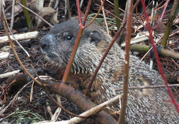 groundhog looks to camera in milliken park_toronto_ontario 1