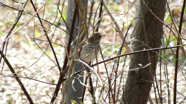 hermit thrush at rosetta mcclain gardens_toronto 7
