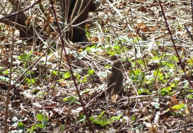 hermit thrush at rosetta mcclain gardens_toronto 8