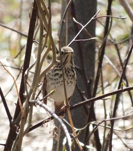 hermit thrush looks to camera_ rosetta mcclain gardens_toronto 4