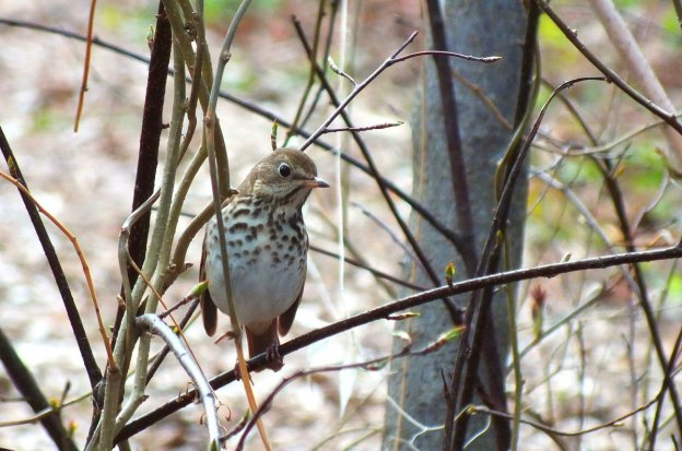 hermit thrush on limb at rosetta mcclain gardens_toronto 2