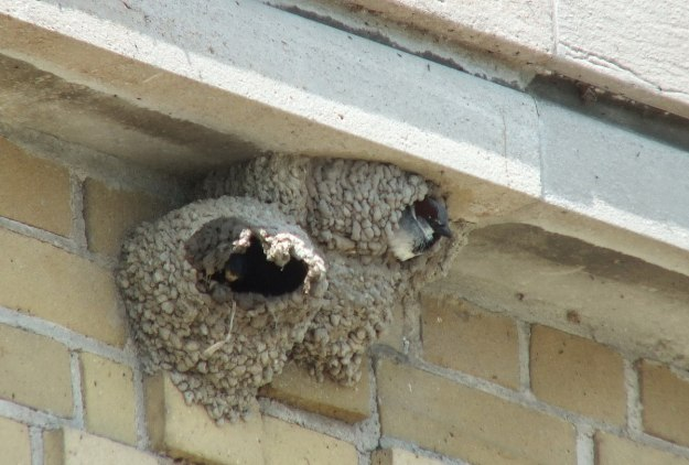 house sparrow inside cliff swallow nest