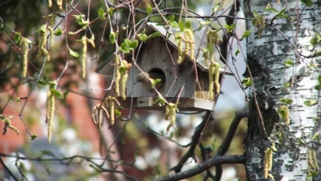 house wren exits its birdhouse - toronto 3