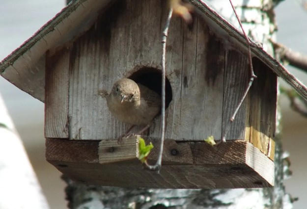 house wren exits its birdhouse - toronto