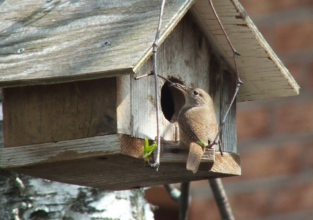house wren holds a twig at birdhouse entrance - toronto 2