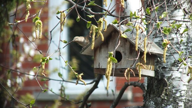 house wren returns to birdhouse with twig - toronto 2