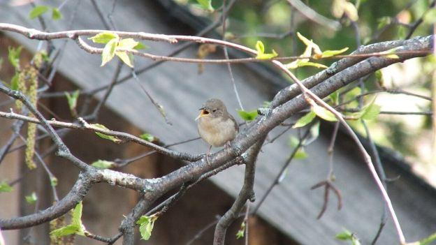 house wren sings in birch tree - toronto