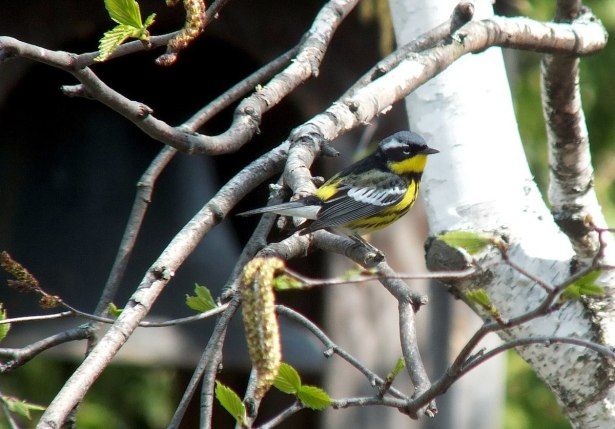 magnolia warbler sitting on tree limb - toronto