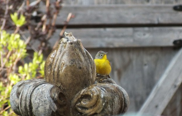 Nashville warbler at a water fountain in Toronto, Ontario, Canada