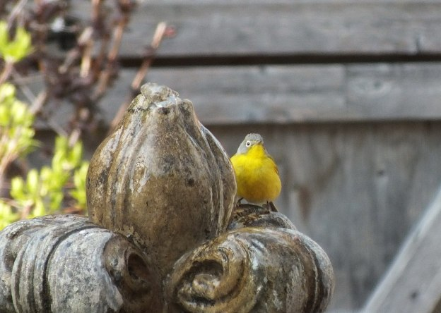 Nashville warbler on a water fountain in Toronto, Ontario, Canada