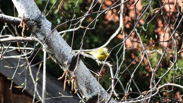 Nashville warbler on a tree in Toronto, Ontario, Canada