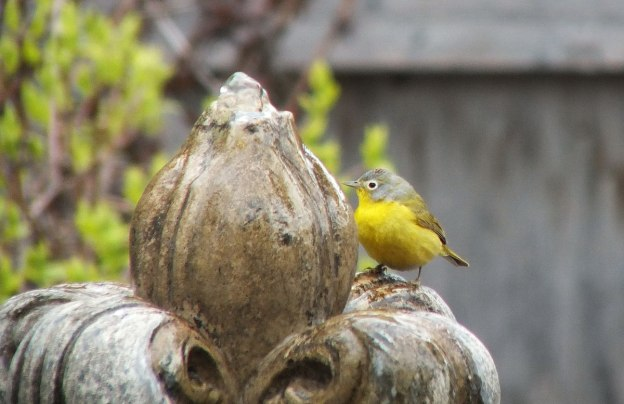 Nashville warbler sitting on a water fountain in Toronto, Ontario, Canada