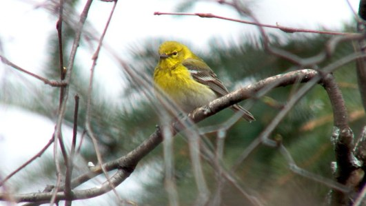 pine warbler in apple tree_toronto_ontario