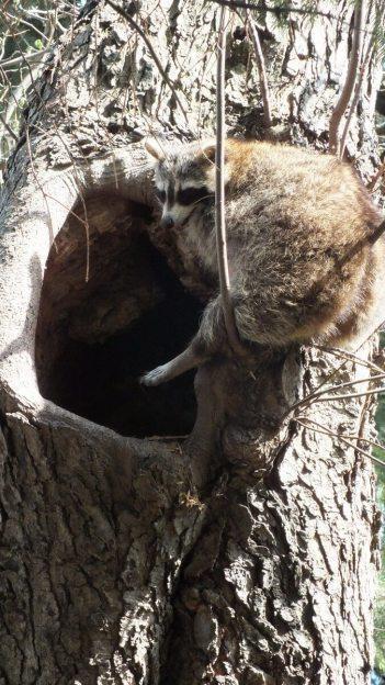 raccoon mother takes needed break on tree - toronto