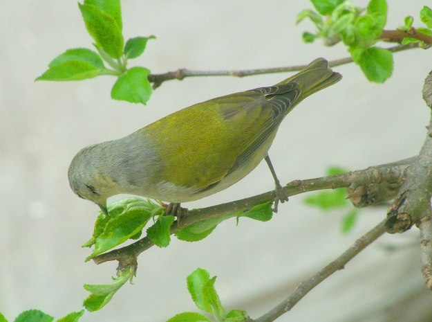 tennessee warbler eats flower head - toronto