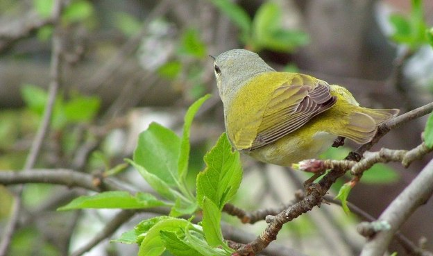tennessee warbler on tree limb in toronto