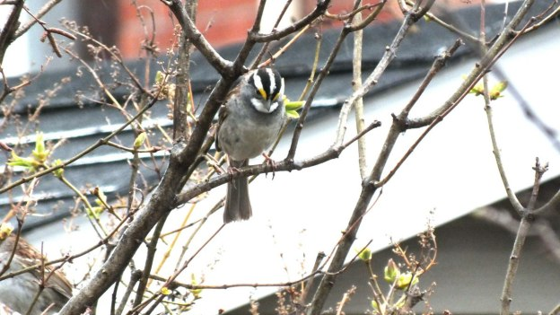 white-throated sparrow in tree_toronto_ontario