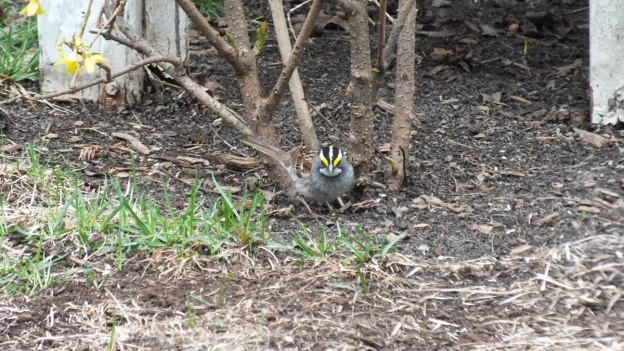 white-throated sparrow on ground_toronto_ontario