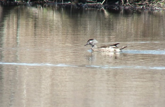 wood duck - female - grindstone marsh - hamilton