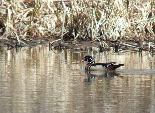 wood duck - grindstone marsh - hamilton
