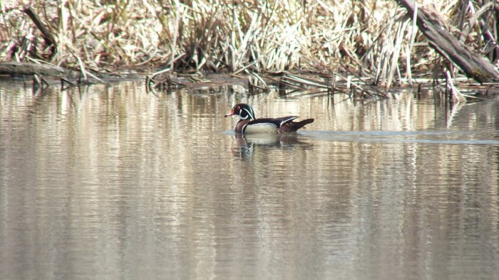 wood duck - male at grindstone marsh - hamilton
